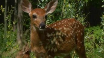 The plan to radio collar fawns