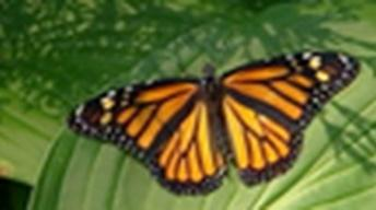 August 25, 2009 - Monarch Butterflies
