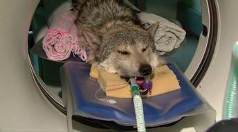 May 3, 2012 - Brookfield Zoo Studies Mexican Gray Wolves