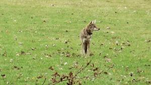 Urban Nature: A Coyote Comeback