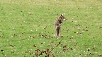 A Coyote Comeback