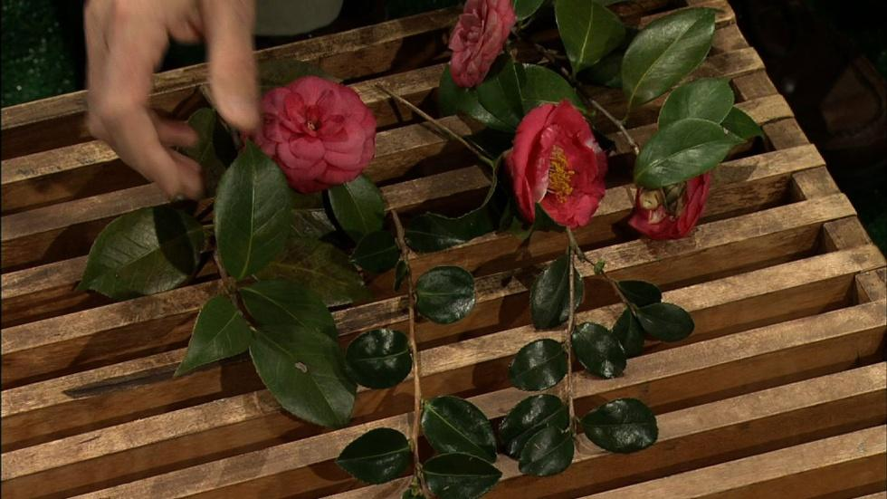 Camellia Flower Choices image