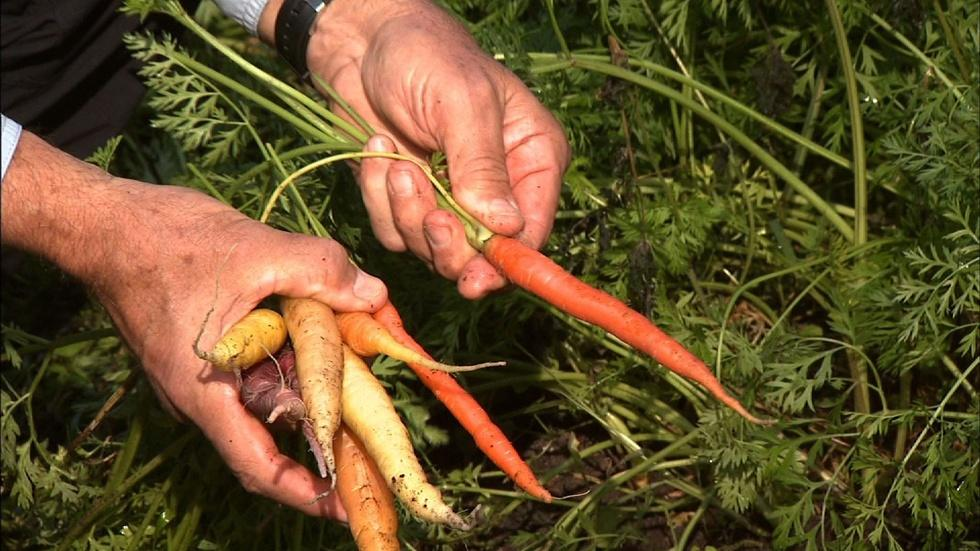 Growing Spring Carrots image
