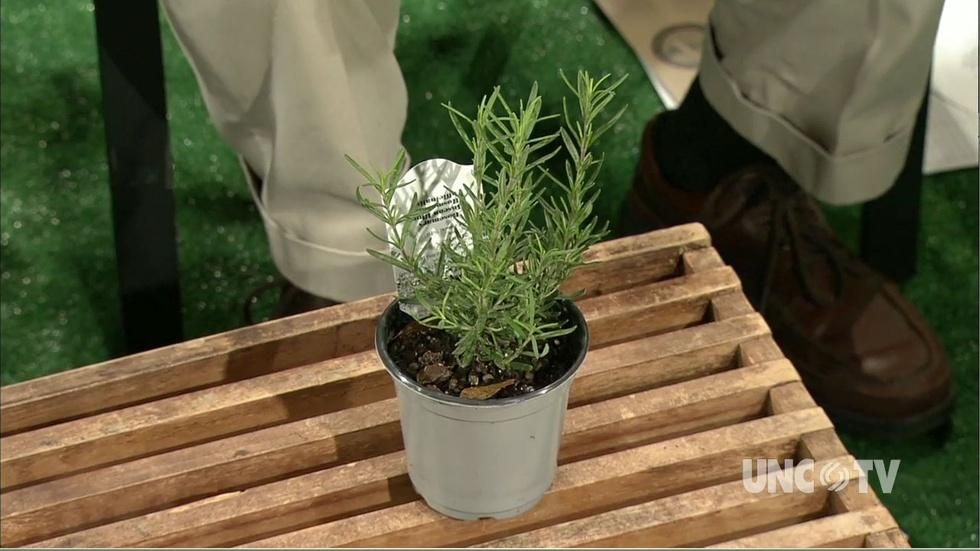 Growing Rosemary Plants image
