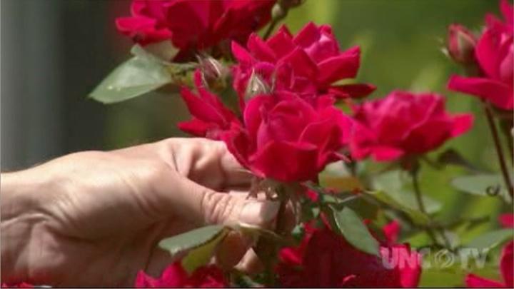 Controlling Rose Rosette Disease image