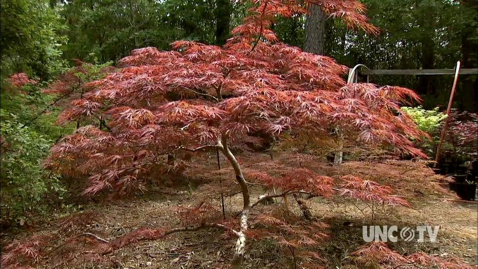 Growing Japanese Maple Trees image