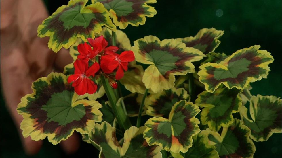 Selecting Flowering Annuals image