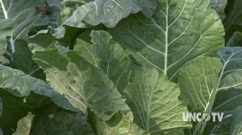 Growing Fall Collards image