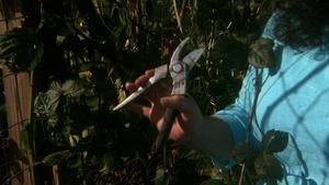 Pruning & Training Blackberry Canes