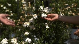 Growing Cold Hardy Gardenias