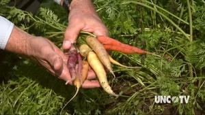 Growing Spring Carrots Now