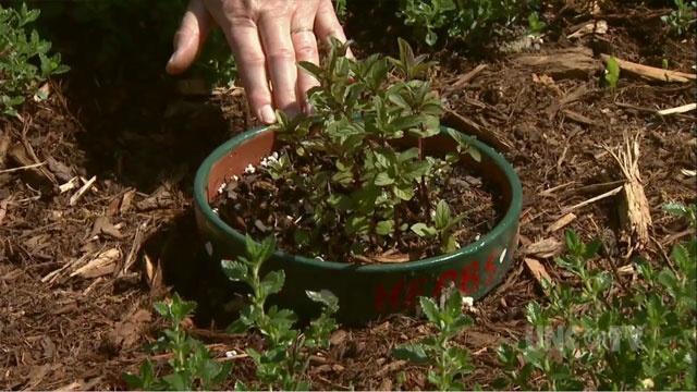 Growing Culinary Herbs image