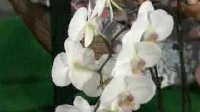 Growing Flouliphus Orchids image