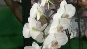 Growing Flouliphus Orchids