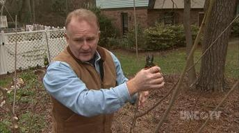 Caring & Pruning Stone Fruit Trees