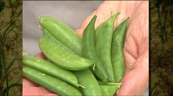 Preparing Fresh Spring Podded Peas