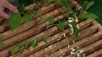 Growing Yellowwood Plants