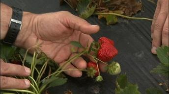 Bill Lord & Russ Vollmer: Growing Organic Strawberry