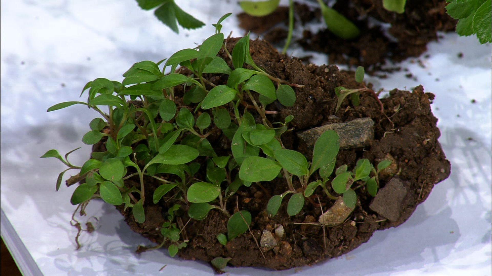 Planting Helleborus Plants image