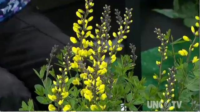 Growing Baptisia Plants image