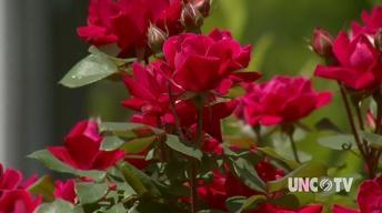Rose Rosetta Disease image
