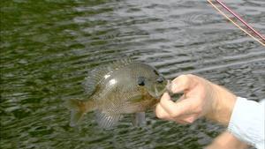 River Bluegills