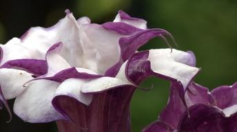 Plant of the Week-Double Purple Datura/ Jimson Weed