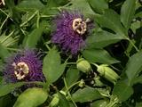 In the Garden | Plant of the Week- Incense Passion Flower