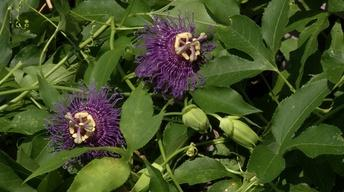 Plant of the Week- Incense Passion Flower