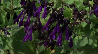Plant of the Week- Friendship Sage