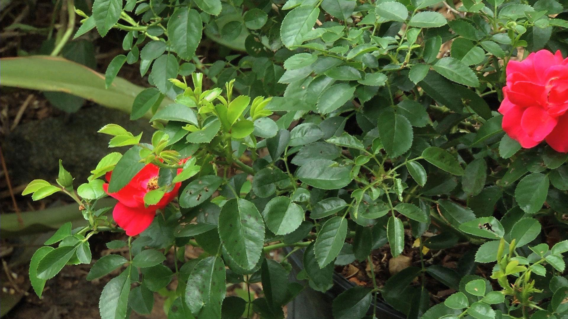 Video: Red Carpet Rose | Watch In the Garden Online | The ...