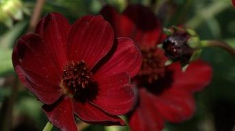 Plant of the Week: Chocamocha Cosmos