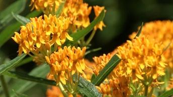 Plant of the Week: Hello Yellow Butterfly Weed
