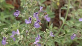 Plant of the Week: Walker's Low Catmint Nepeta x faassenii '