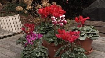 Plant of the Week: Florist Cyclamen, Cyclamen persicum