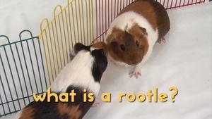 The Guinea Pigs on a ROOTLE Adventure!