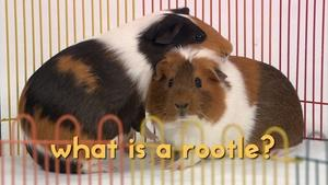 Our Guinea Pig Buddies are ROOTLE-ing!