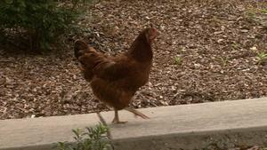 A Chicken and ROOTLE Become Friends in Greensboro!