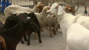 Goats and Sheep Run Amok with ROOTLE!