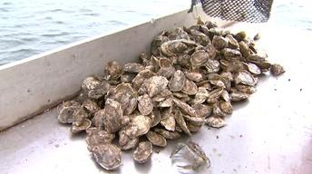 Restoring the Oyster