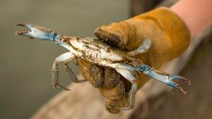 Peelers, Busters and Soft Shell Crabs