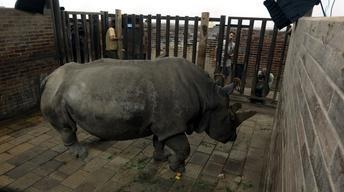 Creature Clip: Northern White Rhino