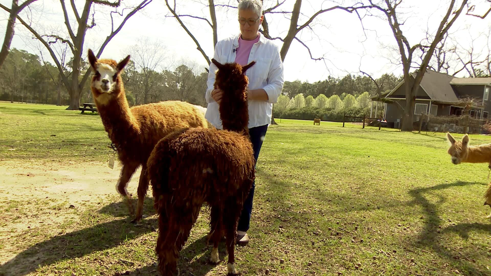 An Alpaca Yarn