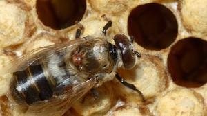 Bee Health, Human Teeth & White Sturgeon