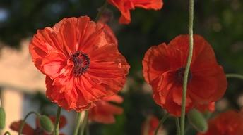 Backyard Farmer: Celebrate Memorial Day with Poppies