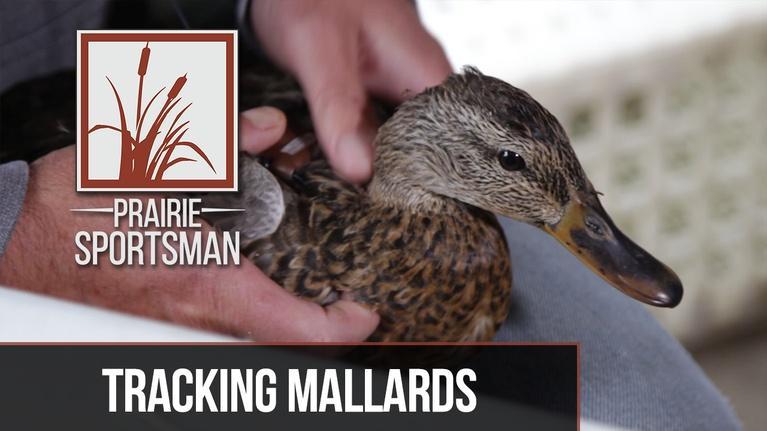 Prairie Sportsman: Tracking Mallards