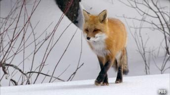 """""""FOX TALES"""""""