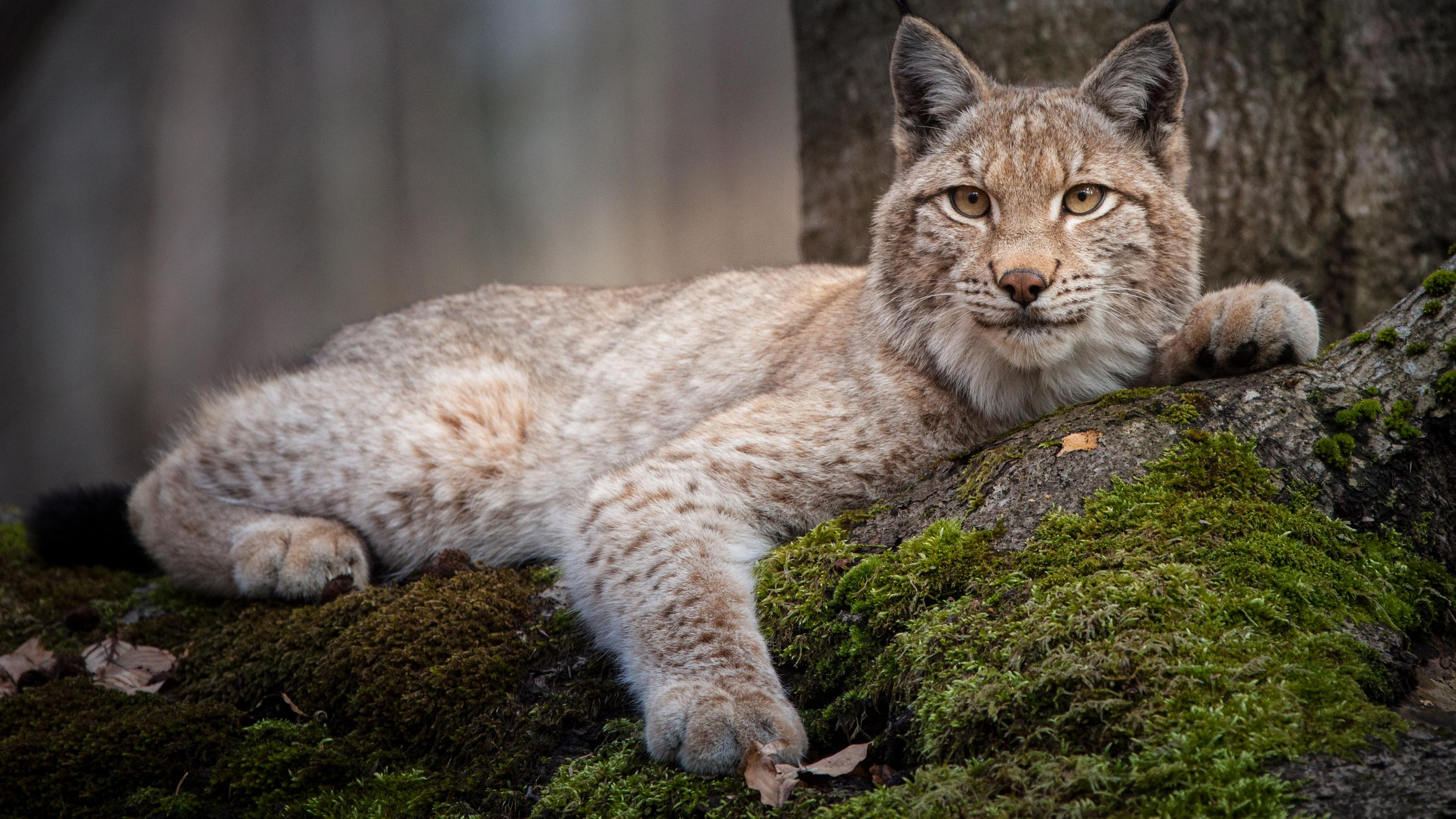 Forest of the Lynx