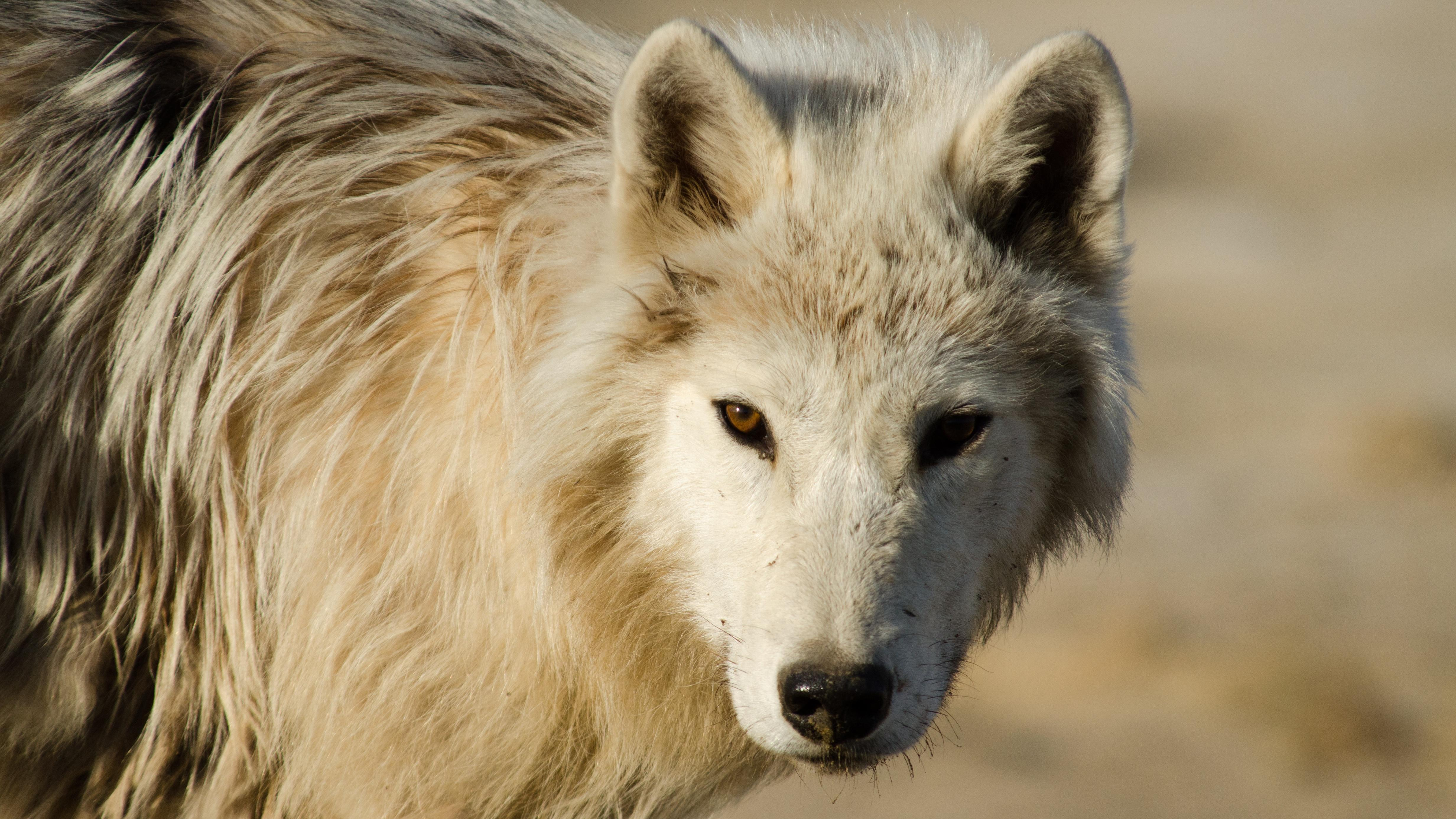 S36 E7 Arctic Wolf Pack Nature Programs Pbs Socal
