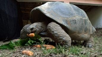 Creature Clip: Aldabara Giant Tortoise